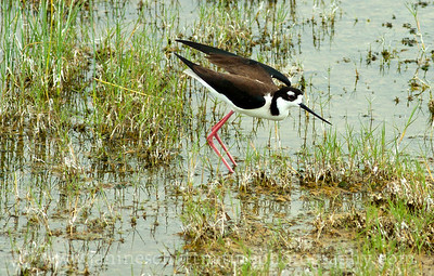 Black-necked Stilt.  Photo taken by the County Line Ponds near Othello, Washington.