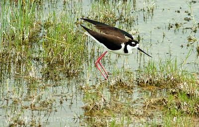 Black-necked Stilt.  Photo taken by the County Line Ponds near Othello, Washington.