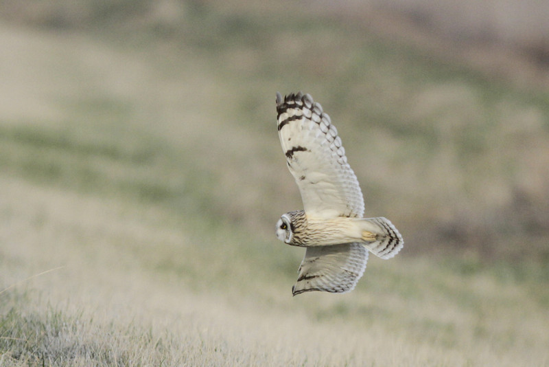 03 19 12_short eared owl_9233_edited-1