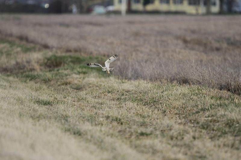 03 19 12_short eared owl_9219