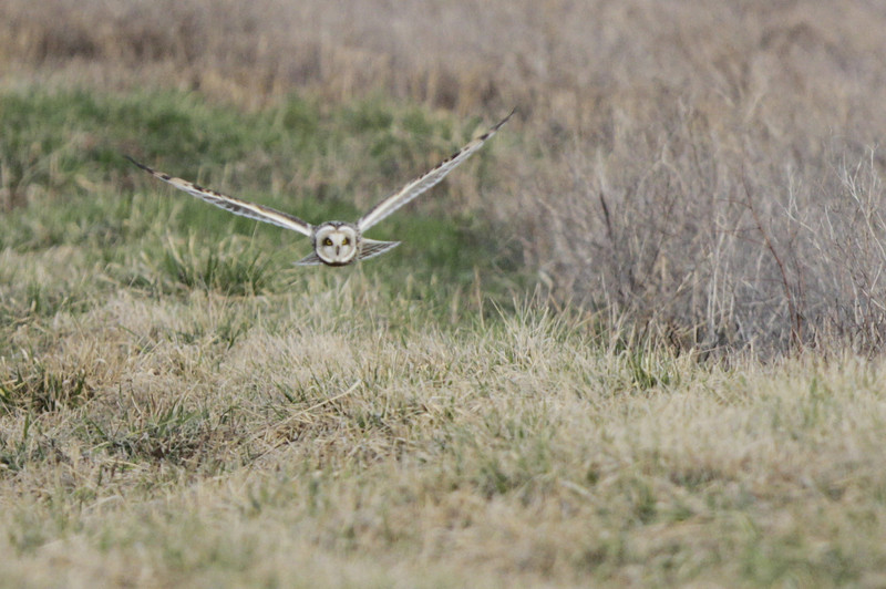 03 19 12_short eared owl_9214_edited-1