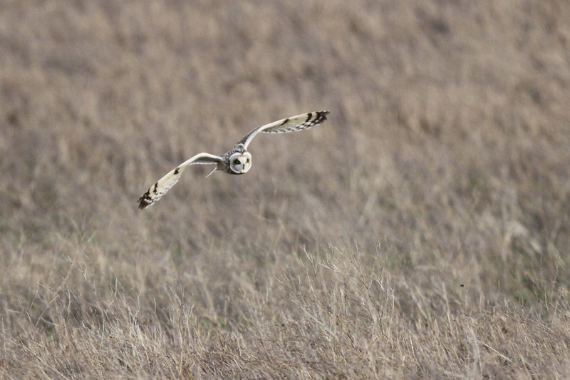 03 19 12_short eared owl_9277_edited-1