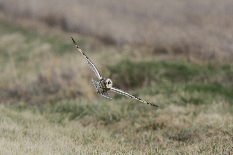 03 19 12_short eared owl_9225_edited-1