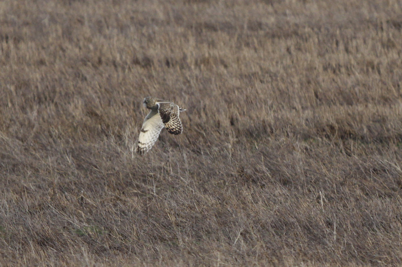 03 19 12_short eared owl_9162_edited-1