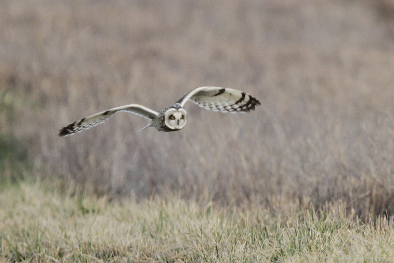 03 19 12_short eared owl_9227_edited-1