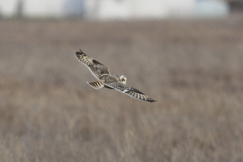 03 19 12_short eared owl_9245_edited-1