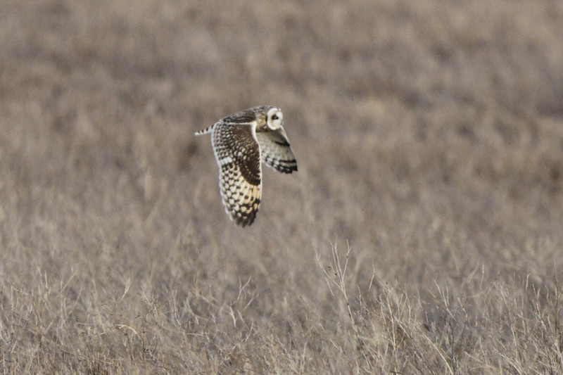 03 19 12_short eared owl_9260_edited-1