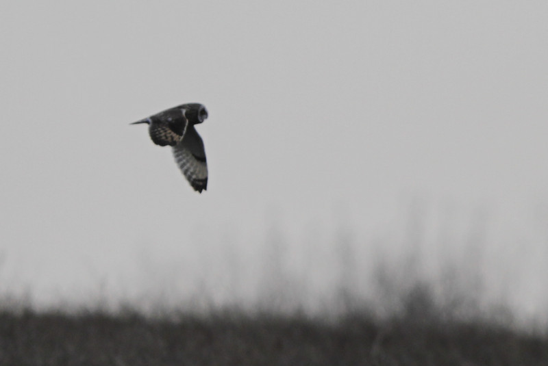 03 19 12_short eared owl_9077_edited-1