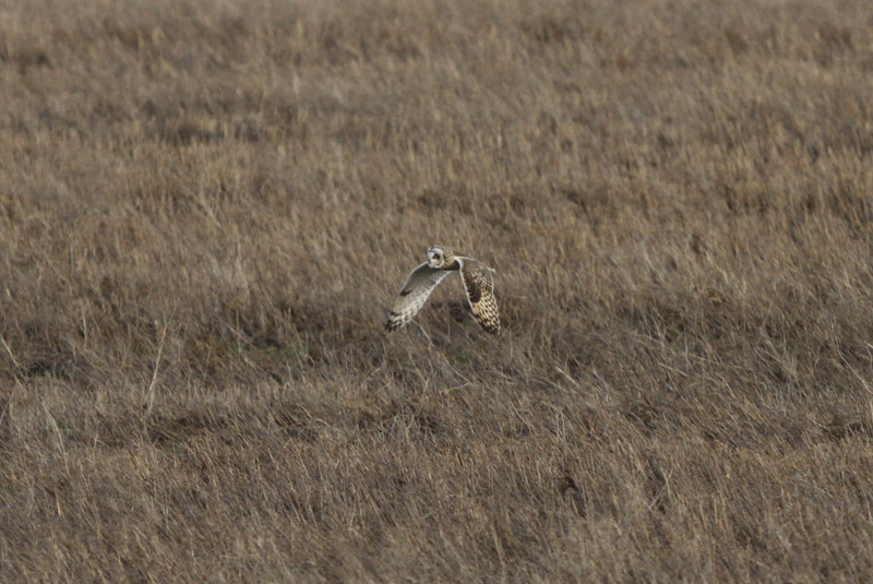 03 19 12_short eared owl_9159_edited-1