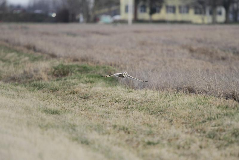 03 19 12_short eared owl_9226