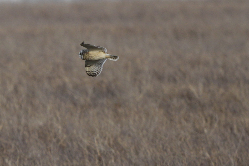 03 19 12_short eared owl_9189_edited-1