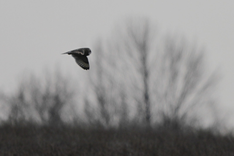 03 19 12_short eared owl_9084_edited-1
