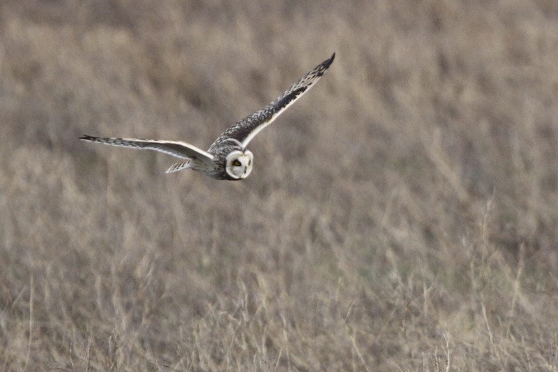 03 19 12_short eared owl_9275_edited-1