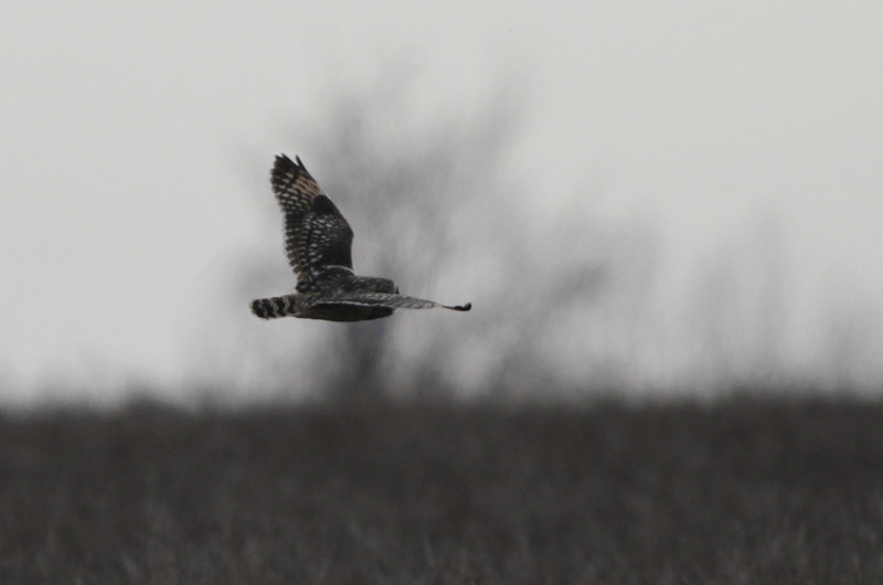 03 19 12_short eared owl_9055_edited-1