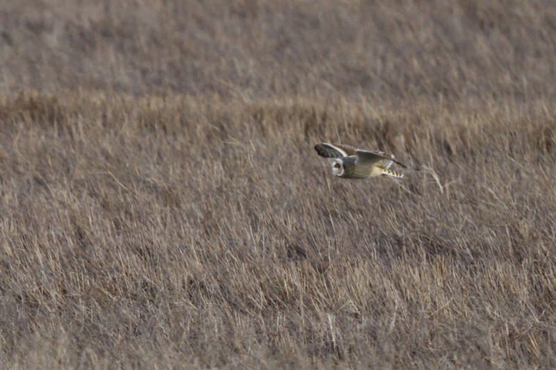 03 19 12_short eared owl_9181_edited-1