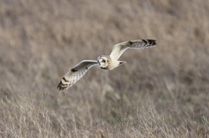 03 19 12_short eared owl_9274_edited-1
