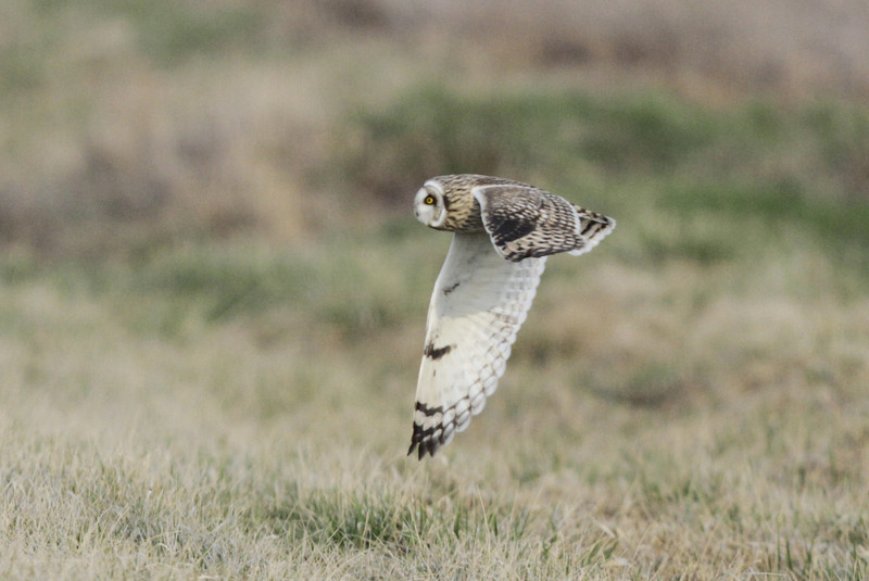 03 19 12_short eared owl_9243_edited-1