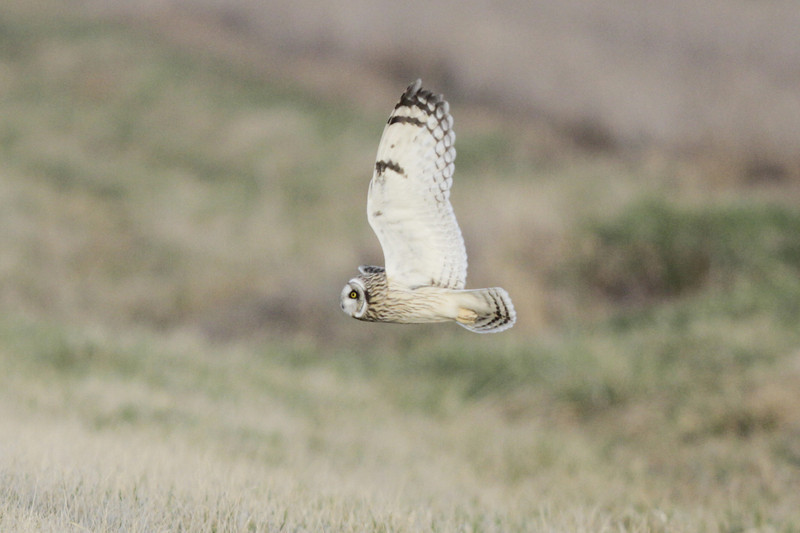 03 19 12_short eared owl_9232_edited-1