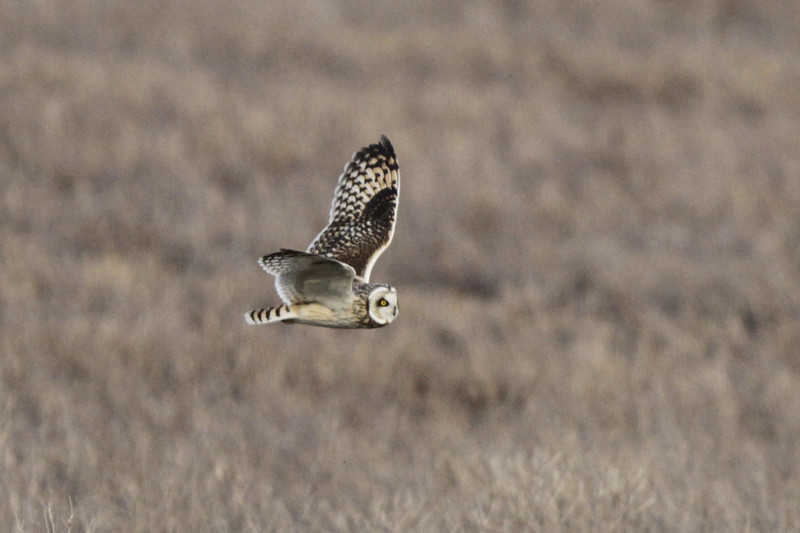 03 19 12_short eared owl_9261_edited-1