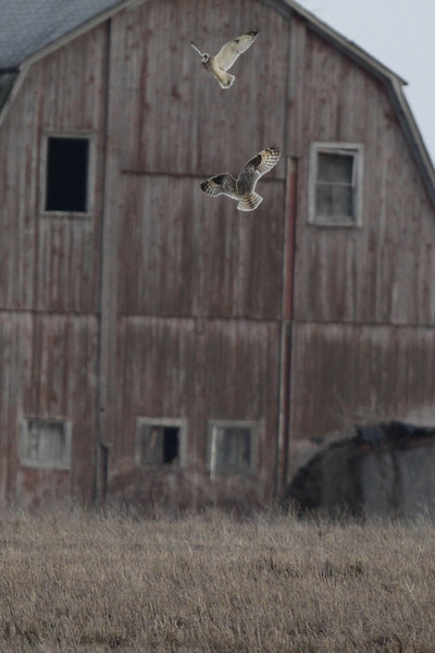 03 19 12_short eared owl_9092_edited-1