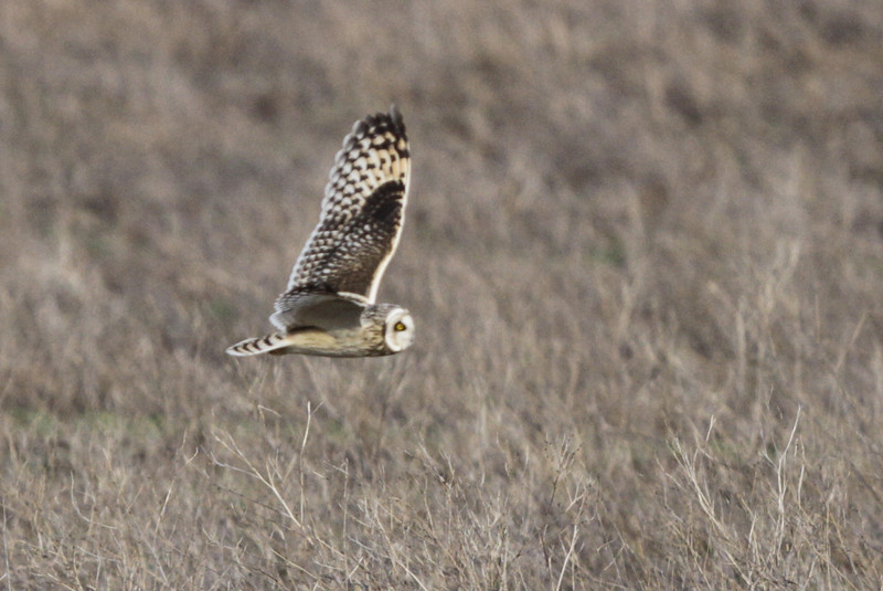 03 19 12_short eared owl_9269_edited-1