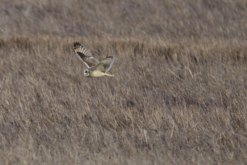 03 19 12_short eared owl_9182_edited-1