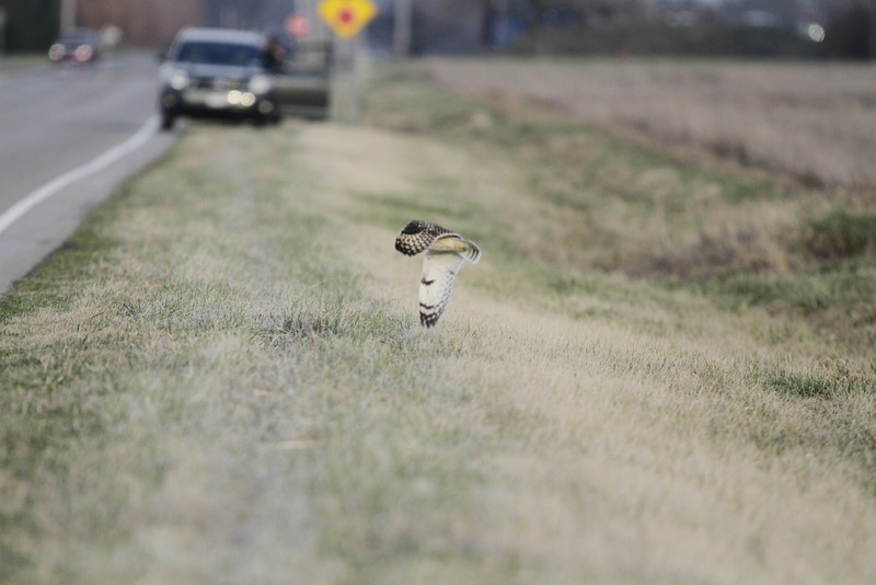 03 19 12_short eared owl_9246