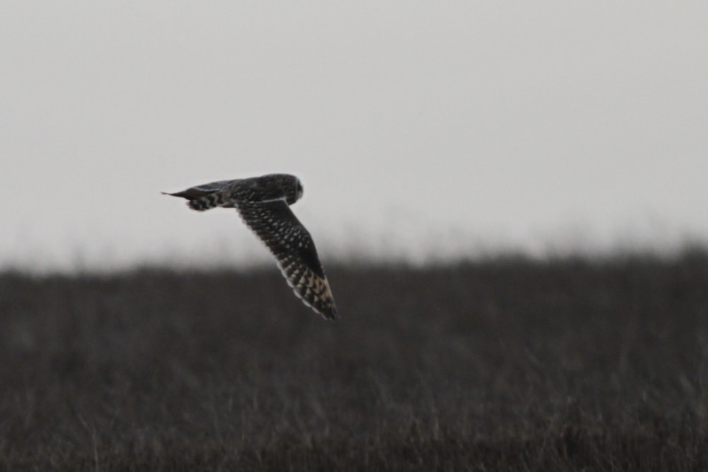 03 19 12_short eared owl_9065_edited-1