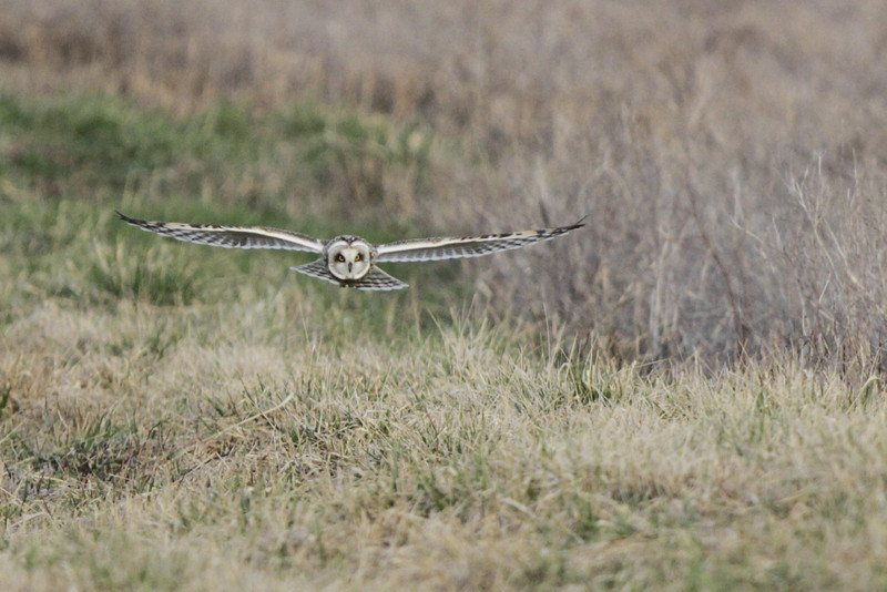 03 19 12_short eared owl_9216_edited-1