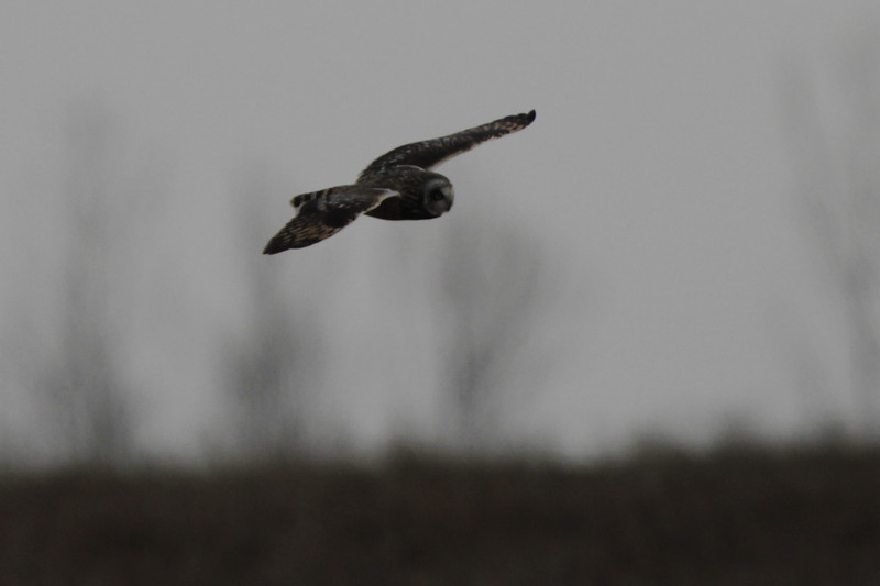 03 19 12_short eared owl_9041_edited-1