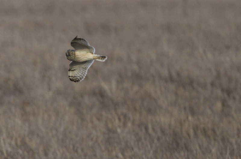 03 19 12_short eared owl_9192_edited-1