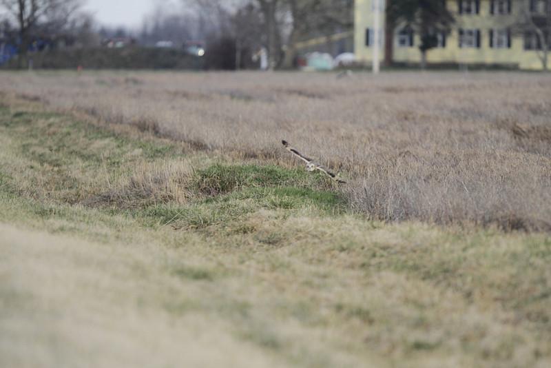 03 19 12_short eared owl_9207