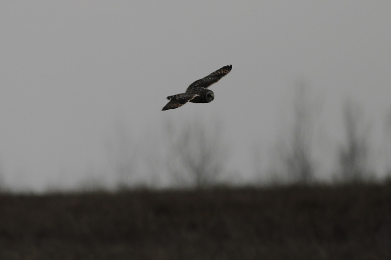 03 19 12_short eared owl_9040_edited-1