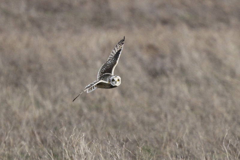 03 19 12_short eared owl_9272_edited-1
