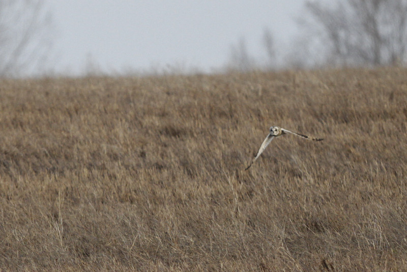 03 19 12_short eared owl_9152_edited-1