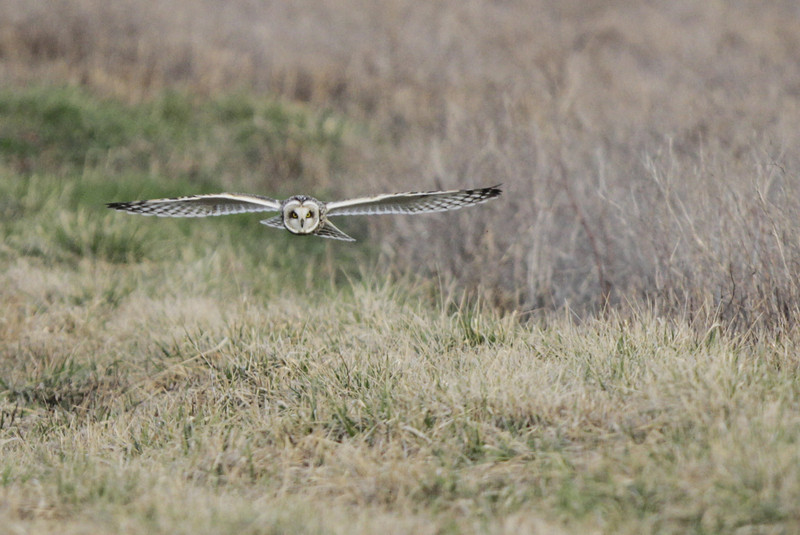03 19 12_short eared owl_9217_edited-1