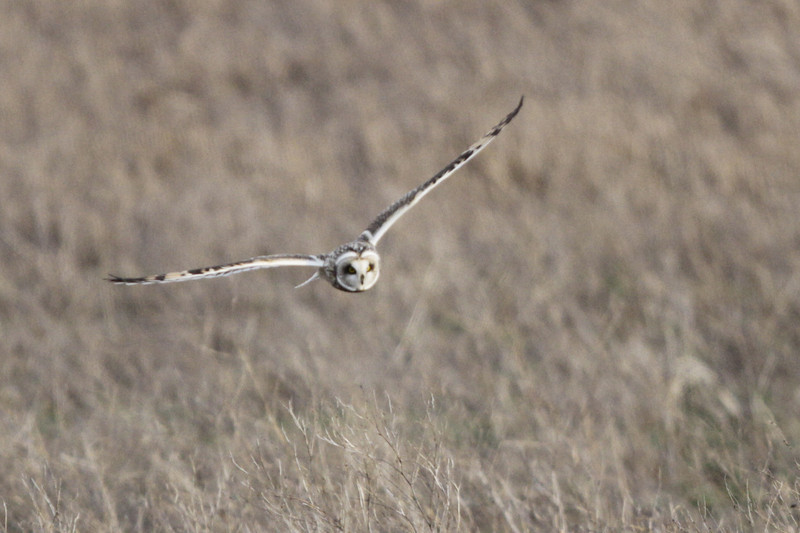 03 19 12_short eared owl_9278_edited-1