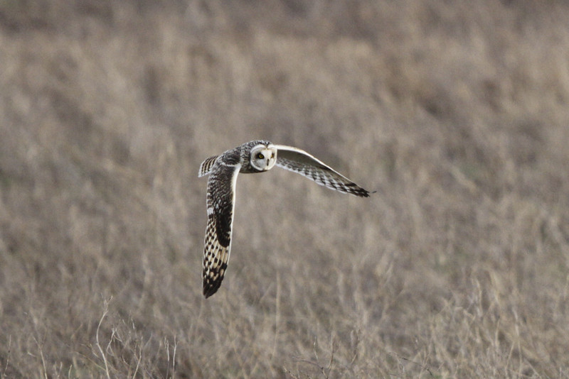 03 19 12_short eared owl_9267_edited-1