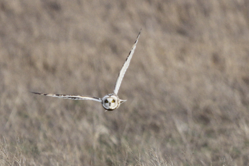 03 19 12_short eared owl_9281_edited-1
