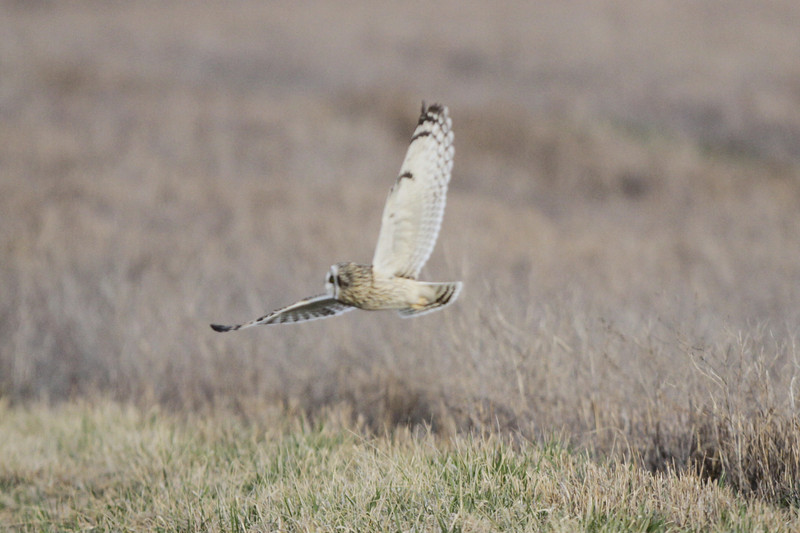 03 19 12_short eared owl_9239_edited-1