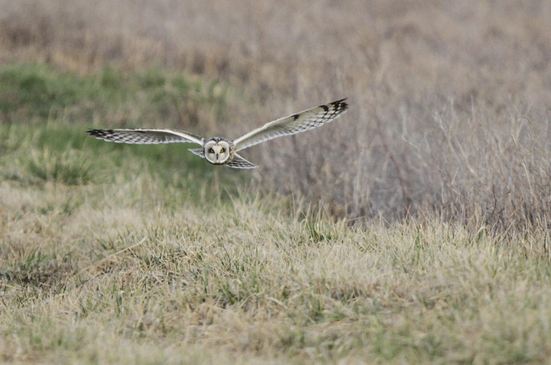 03 19 12_short eared owl_9218_edited-1