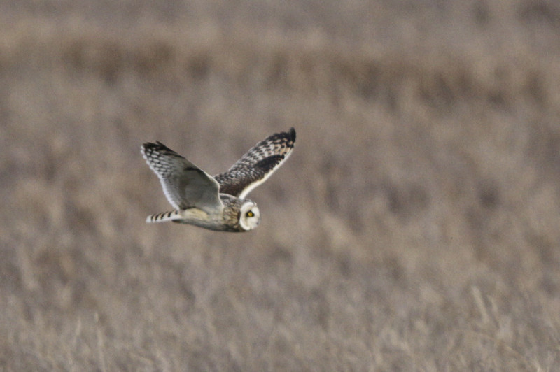 03 19 12_short eared owl_9263_edited-1