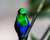 Violet-bellied Hummingbird(?)