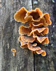 Stereum sp. - False Turkey Tail