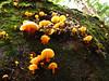 Possibly Chrysomphalina aurantiaca