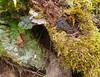 Kretzschmaria deusta - Brittle Cinder