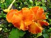 Genus Hygrocybe - a waxy cap fungus