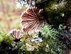 Schizophyllum commune - Split Gill Fungus