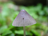 Genus Mycena - species uncertain