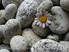 Daisy and beach stones (5)
